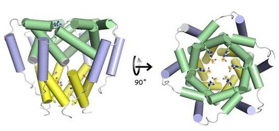 重要阳离子通道蛋白p7的三维结构.该通道呈花瓣形的六聚体结构,